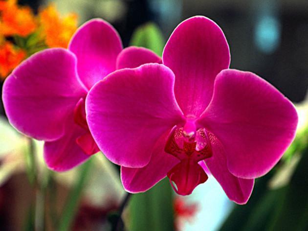 feira de orquídea