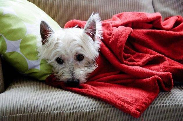 cachorro com frio
