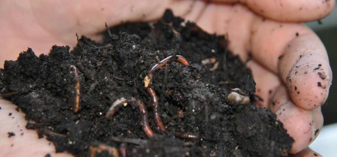 Red_Wiggler_Worms_In_Compost_