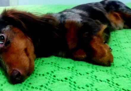 www.juicysantos.com.br - problemas de coluna em cachorros salsicha