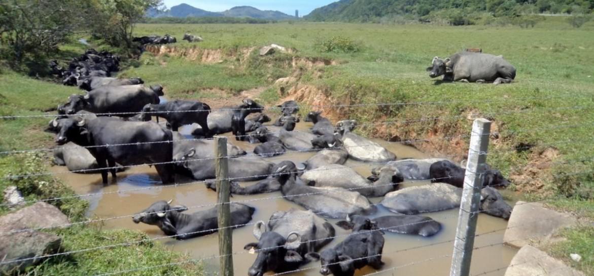 www.juicysantos.com.br - fazenda de búfalos passeio no guarujá
