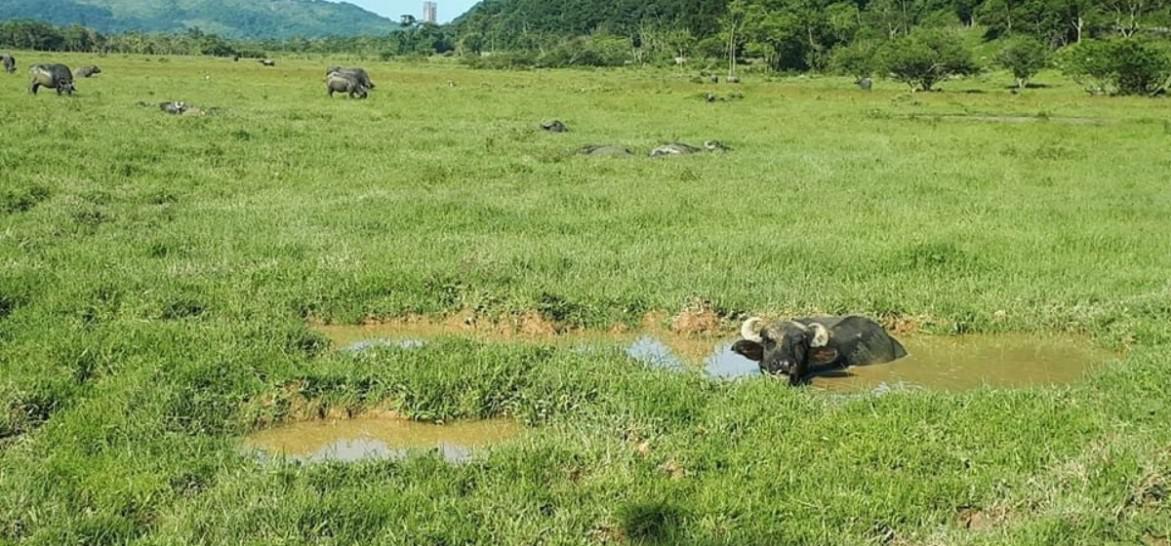 www.juicysantos.com.br - passeio em fazenda de búfalos no guarujá