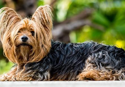 www.juicysantos.com.br - cães da raça yorkshire se encontram em são vicente