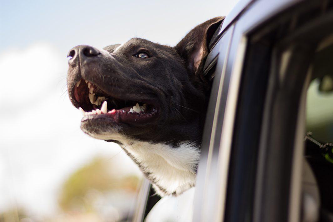 www.juicysantos.com.br - Viajar com pets