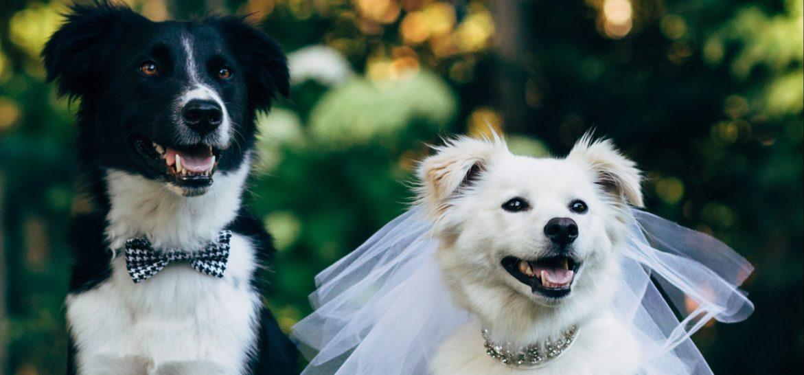 juicysantos.com.br - Seu pet como noivinho de casamento