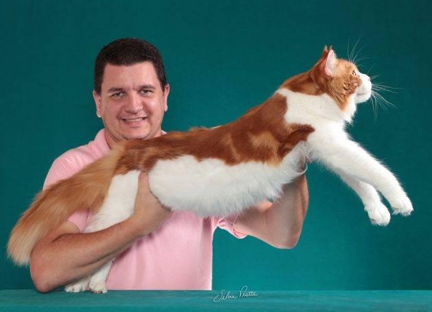 juicysantos.com.br - gatos gigantes em Santos